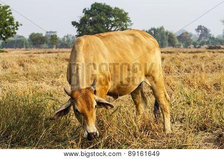 Cows Graze In A Field Width