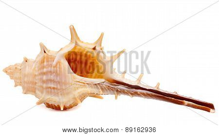 Sea Shell Isolated on White Background.