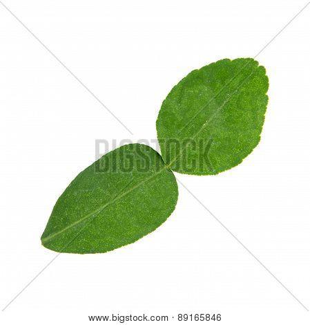 Kaffir Lime Leaf, An Important Ingredient For Thai Cuisine.