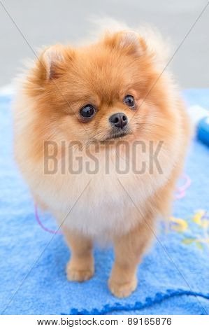 dog sable German Toy Pomeranian breed