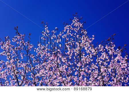 Spring Blossoming of a Sakura; Blue Sky in the Background