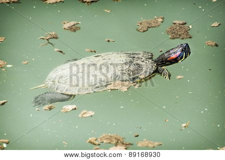 Red-eared Slider (trachemys Scripta Elegans) In The Water