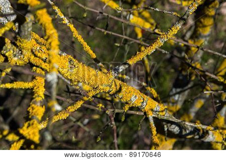 The Composition Of The Branches Of The Tree With Yellow Lichen.