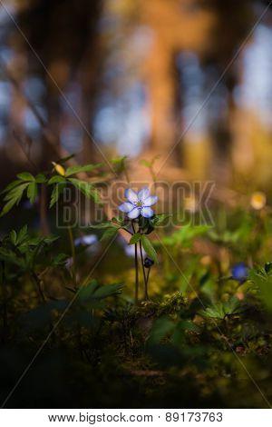 blue spring flower in the sunlight