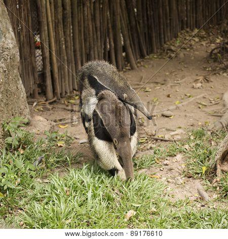 Giant Anteater (myrmecophaga Tridactyla)