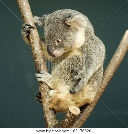 Portrait Of Male Koala Bear Sitting