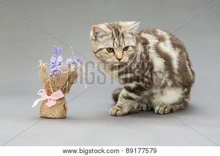 Beautiful Young British Cat Marble Color