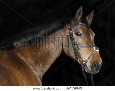Oldenburg Horse Head