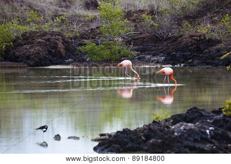 Flamingos walking in water