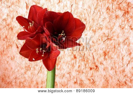 Red Gerber Flower On Colored Background