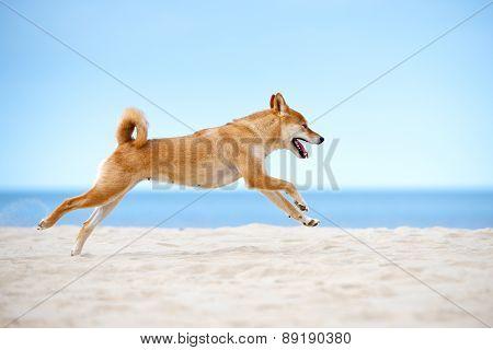 shiba-inu dog running on a beach