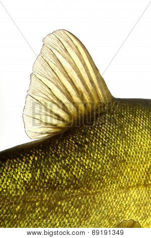 dorsal fin fish tench colorful under water