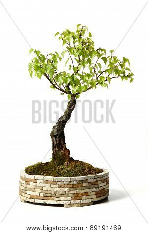 tree isolated on white background, birch bonsai