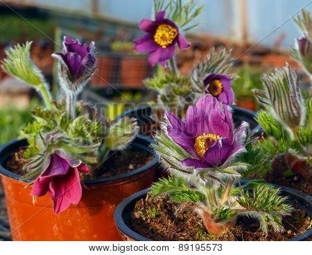 Violet Flower In A Pot