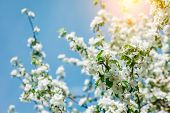 pic of orchard  - Blossoming apple orchard glowing by sunlight on a blue sky - JPG