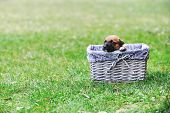 image of belgian shepherd  - young puppy belgian shepherd malinois in box