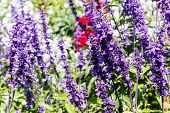 stock photo of salvia  - purple flower  - JPG