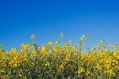stock photo of cultivation  - Oilseed Rapeseed Flowers in Cultivated Agricultural Field Crop Protection Agrotech Concept - JPG