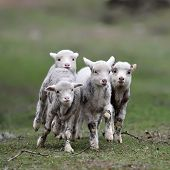 stock photo of spring lambs  - cute lambs on field in spring - JPG