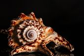 pic of snail-shell  - Sea spiral snail shell on black background - JPG