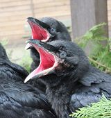 stock photo of ravan  - Raven babies beggin for food in their nest - JPG