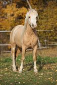 pic of stallion  - Amazing welsh mountain pony stallion standing in autumn - JPG