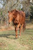 picture of running horse  - Beautiful chestnut horse running alone in autumn