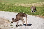 stock photo of kangaroo  - Wild kangaroos seen on a field near Melbourne - JPG