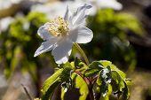 foto of windflowers  - a wood anemon or anemone nemorosa in latin  - JPG
