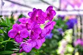 image of orquidea  - The violet Orchids in the garden for a background