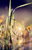 picture of monocots  - Wild grass  - JPG