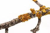 stock photo of lichenes  - Lichen on a tree branch isolated on white background - JPG
