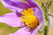 picture of common  - Pasque flower  - JPG