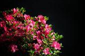 stock photo of azalea  - blossom azalea - JPG
