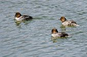 picture of common  - Three Female Common Goldeneyes Swimming in the Lake - JPG