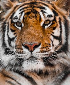 picture of tiger eye  - Tiger face and eyes - JPG