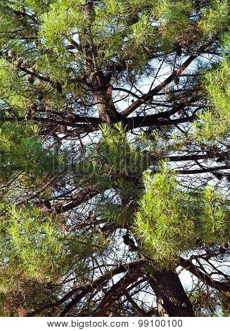 Pine Tree With Fircones On Branches