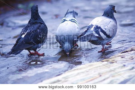 pigeon standing on a water fountain. pigeons drinking water .