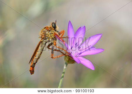 robber fly on flower