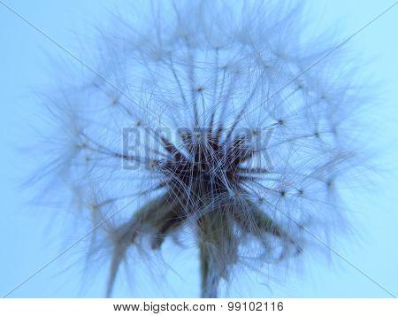 Dandelion against the blue sky, closeup, background