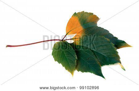 Multicolor Virginia Creeper Leaf (parthenocissus Quinquefolia Foliage)