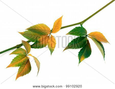 Multicolor Autumn Twig Of Grapes Leaves, Parthenocissus Quinquefolia Foliage
