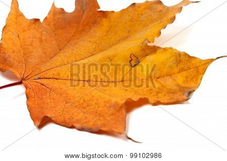 Dried Autumn Maple-leaf Isolated On White Background