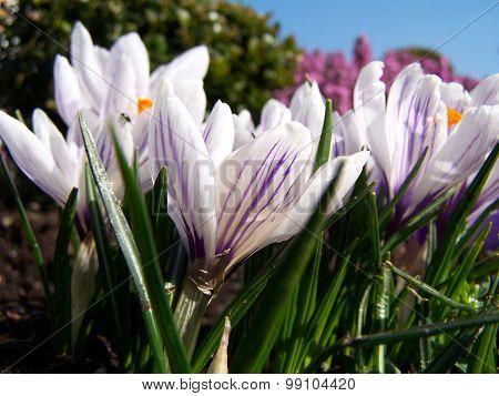 Crocuses flowers