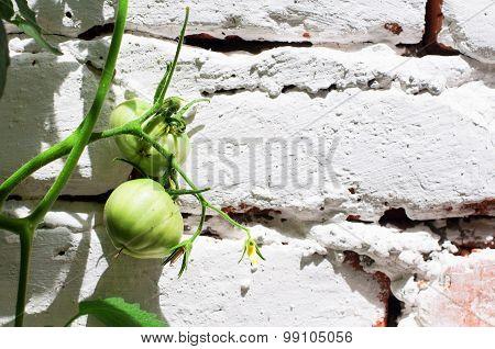 Green tomato on white brick wall