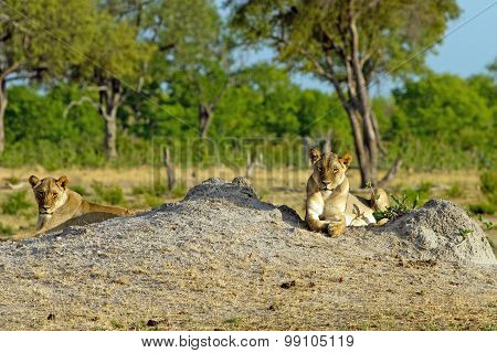 Two Lionesses resting on a termite mound in Hwange National Park with natural background