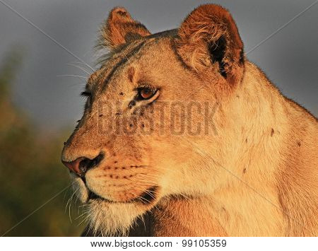 Close head shot of a lioness in Hwange National Park
