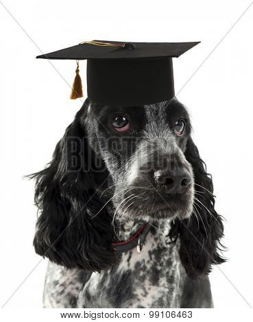 Russian spaniel with grad hat isolated on white