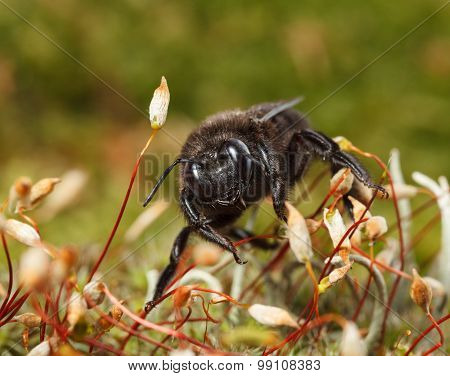 Black Carpenter Bee In Moss