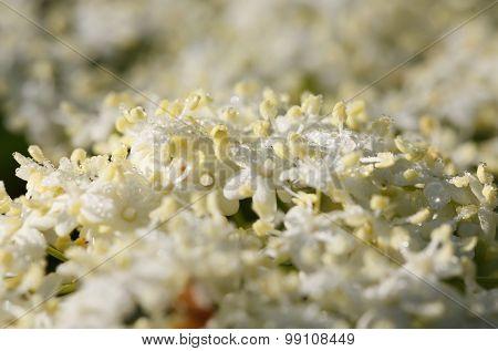 Subtle Elder Blossom